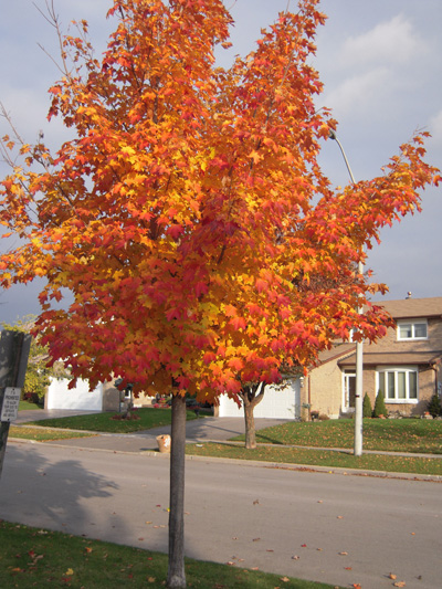 Canadian Maple, Toronto, Canada